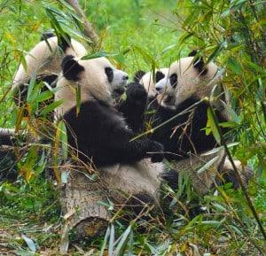 Panda's eating breakfast