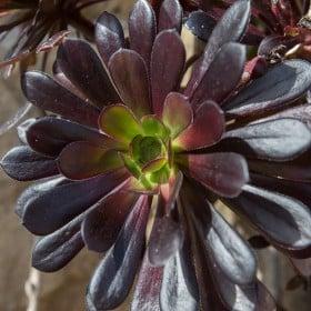 Close up of Aeonium plant